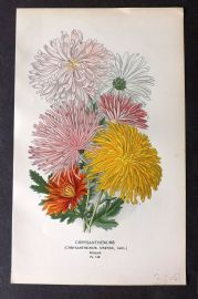 Step 1896 Antique Botanical Print. Chrysanthemums 148